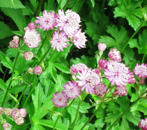 blomma7