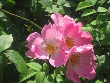 rosagallicacompcicata